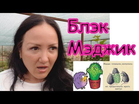 """Ежевика Блэк Мэджик - один из """"бриллиантов"""" Арканзасского университета"""