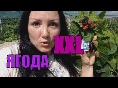Ежевика Прайм Арк Фридом - сорт с нереальной ягодой! Плодоношение на побегах этого года