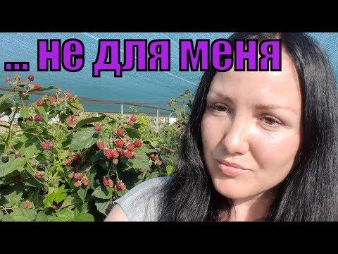 Ежевика Блэк Мэджик, плодоношение на побегах этого года