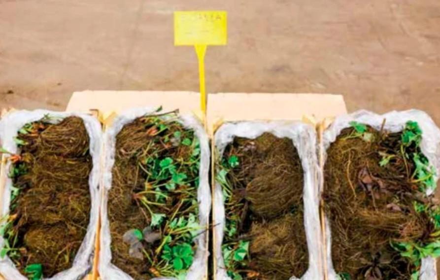 Типы и разновидности саженцев земляники - что нужно знать. Саженцы с открытой корневой системой