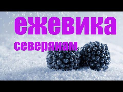 Сорта ежевики для севера европейской России, Сибири и Дальнего Востока