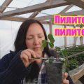Как посадить вегетирующие саженцы ежевики с ЗКС