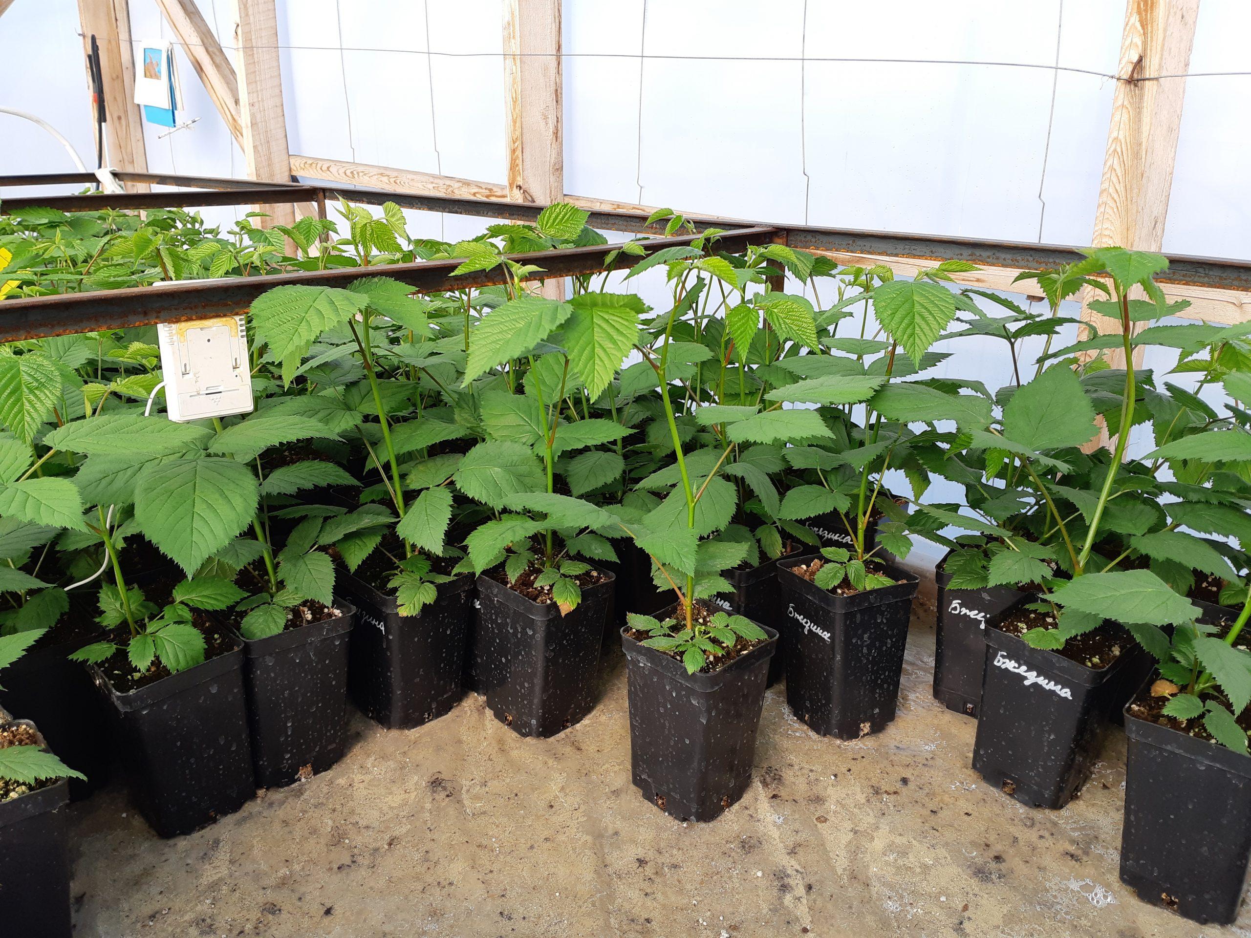 Вегетирующие саженецы ежевики Бжезины