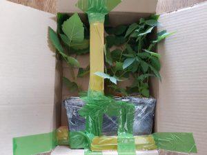 Упаковка 3-х саженцев ежевики для отправки клиентам