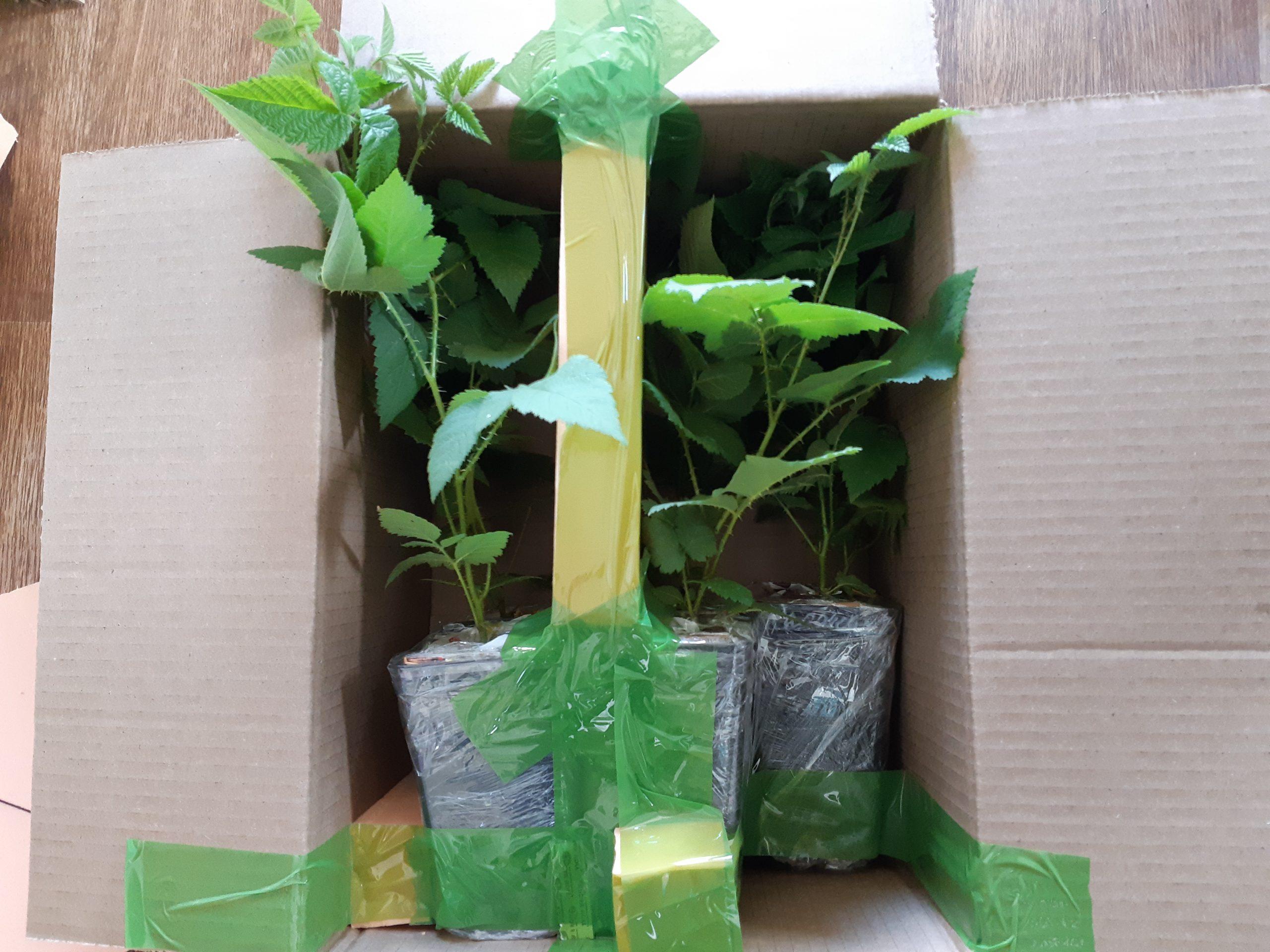 Упаковка 5-и саженцев ежевики для отправки клиентам