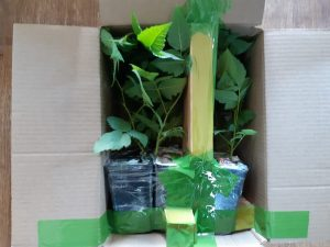 Упаковка 6-и саженцев ежевики для отправки клиентам
