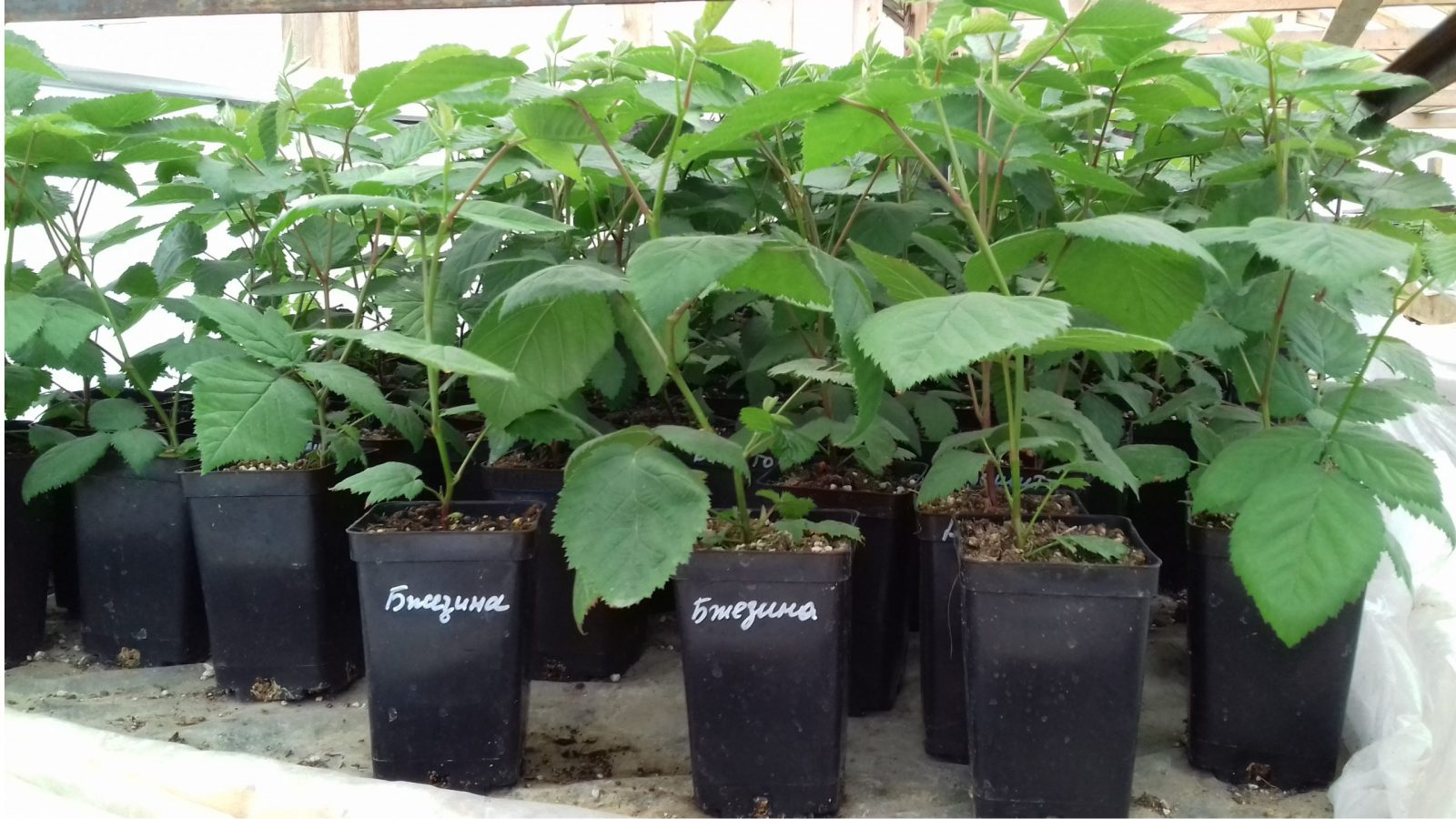 Вегетирующие саженцы ежевики Бжезина