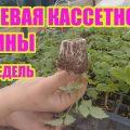 Укоренение крапивки малины. Итоги