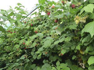 Урожайность малины Октавия