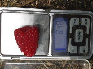 Вес ягоды малины Нижегородец