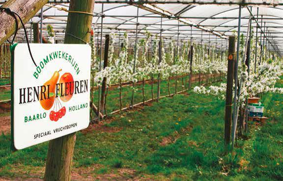 Голландский питомник Fleuren: инновации в выращивании черешни